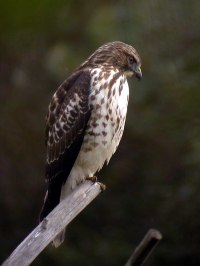Broad-winged_Hawk